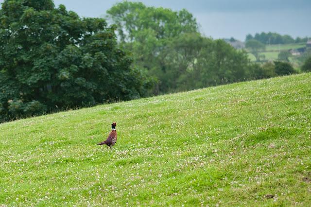 elusive pheasant