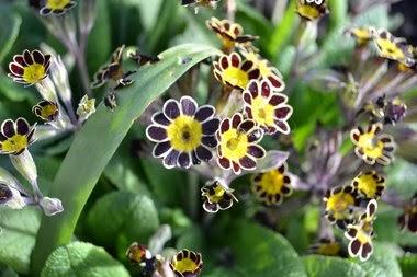 Polyanthus 'Gold Lace'