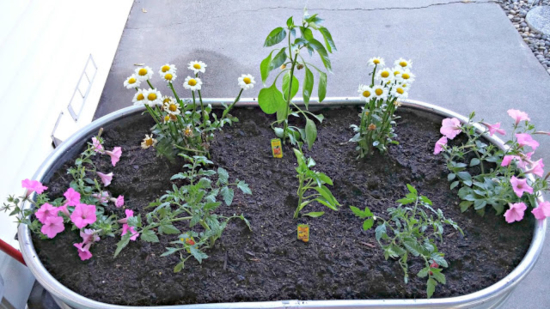 How to make a raised garden from a horse trough
