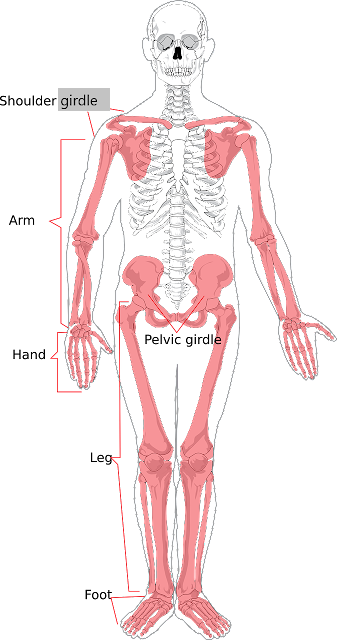 Pectoral and Pelvic Girdle, shoulder blade, hip joints, clavicle, collar bone