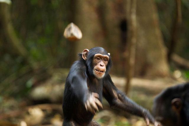 Santino, Si Simpanse Jahil