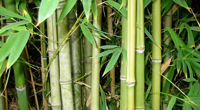 The Bamboo and Its Uses - Short Essay