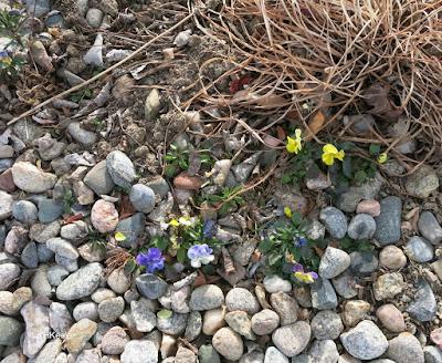 pansies, December 16, 2017 Northern Colorado