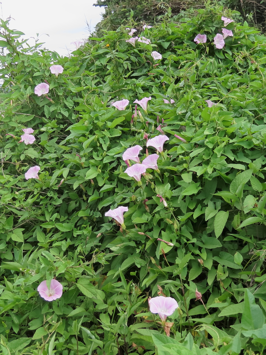 たぶんヒルガオ 小満/05.31 上州藤岡白石丘陵公園