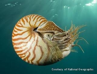 Nautilus sp.
