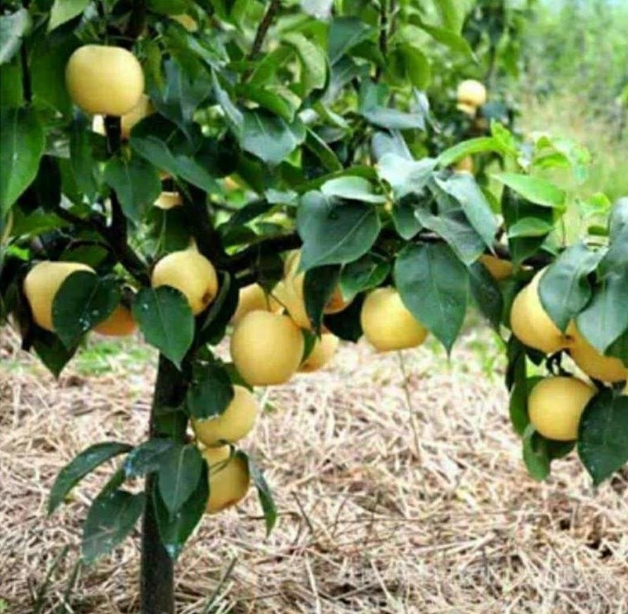 Bibit buah pir Hasil cangkok cepat berbuah Tebingtinggi