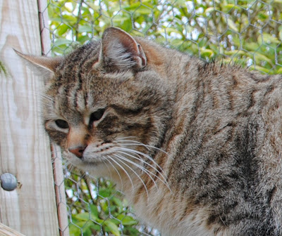 Pixie Bob Cats