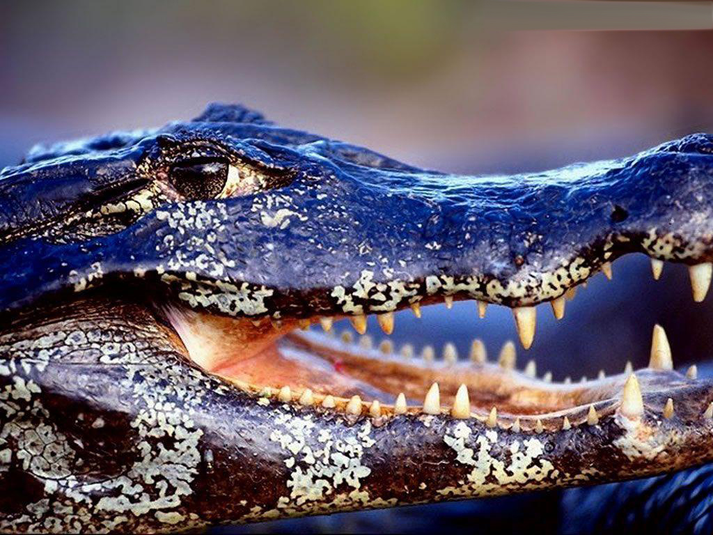 Wallpapers DB: alligator wallpapers,animal wallpapers