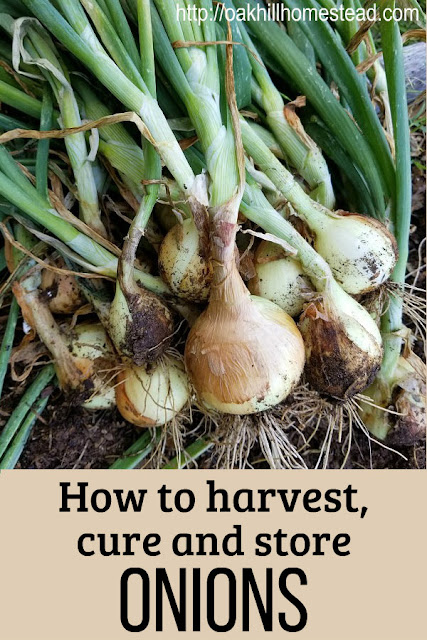 How to harvest, cure and store the onions from your garden.
