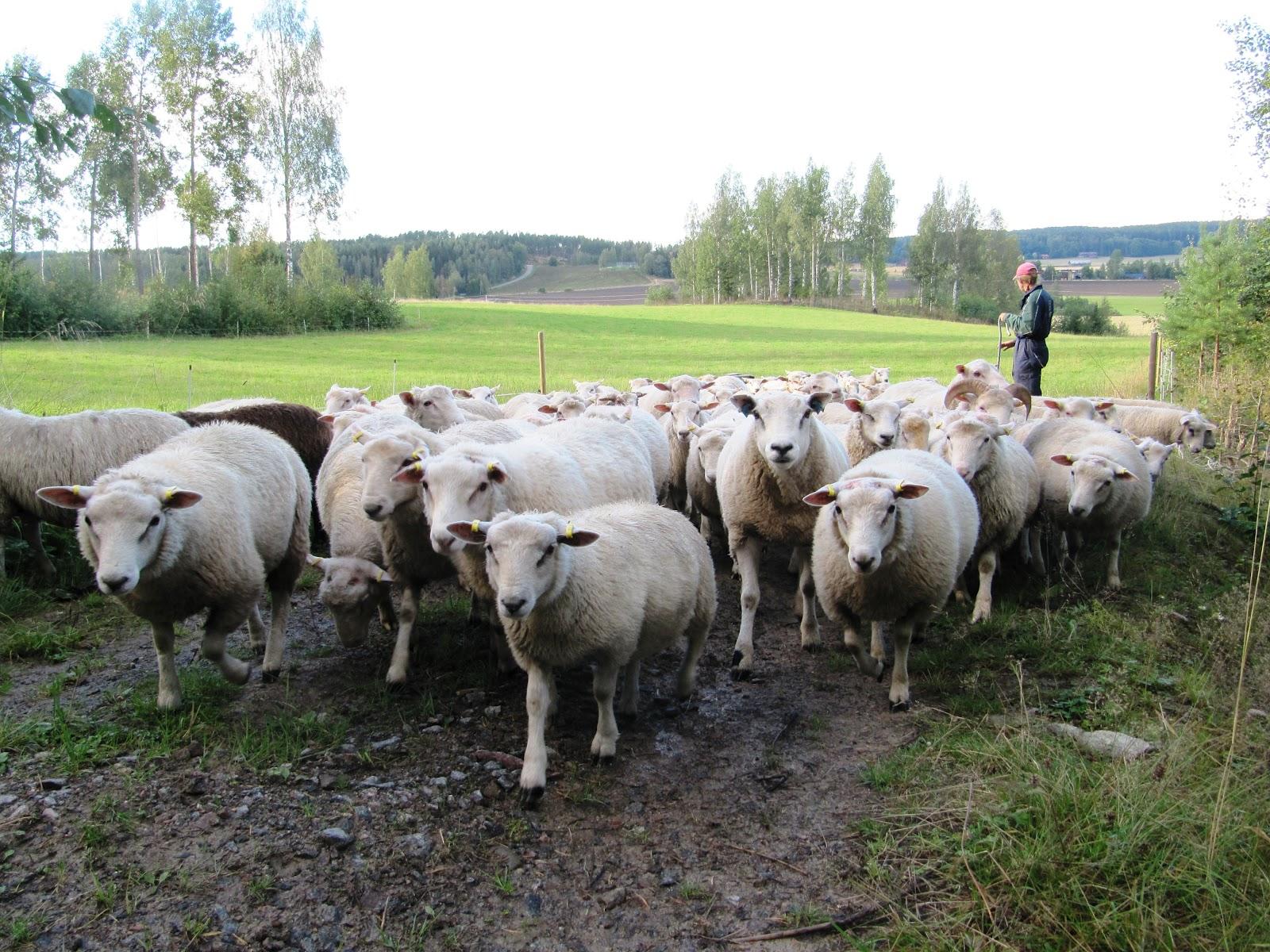 Dorset Lammas