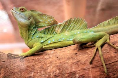 Basilisco en Costa Rica