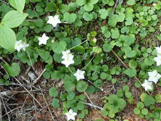 Monésès uniflore - Moneses uniflora - Pyrole à une fleur