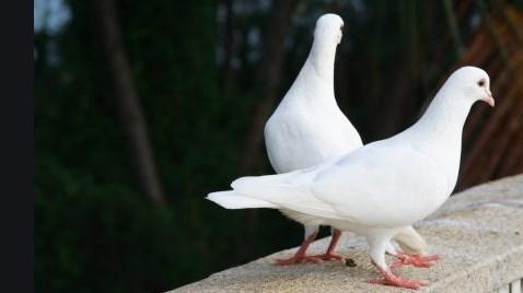 حمام السلام أصبح الحمام الزاجل رمزا للسلام صفات ناذرة
