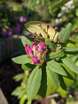 Sich öffnende Rhododendronblüte
