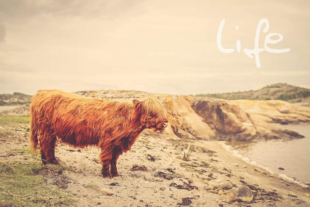 Image of a cow standing on a beach with the word life written on it.