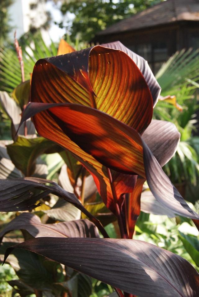 Canna tropicanna