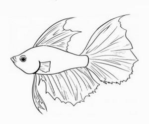 Cara Menggambar Ikan Hias Cupang - Cilacap Klik