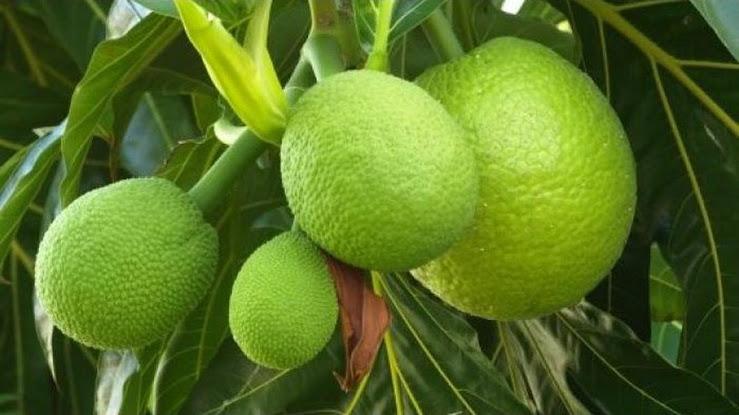 bibit buah sukun okulasi Jawa Timur