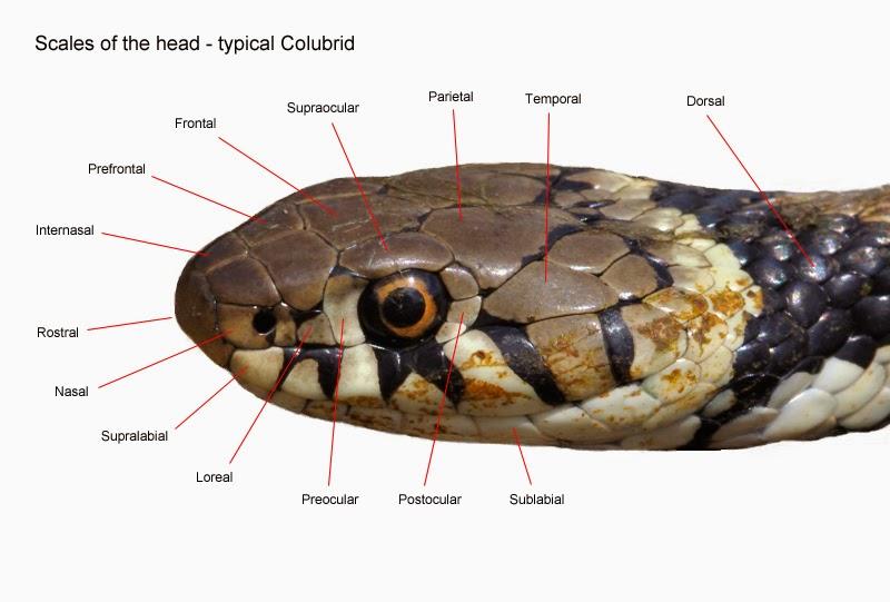 Three Counties Wildlife British Reptiles
