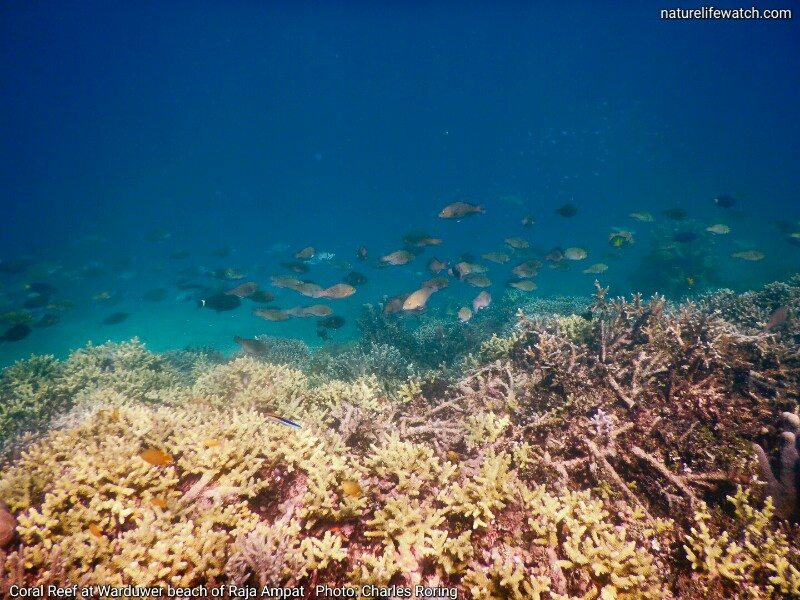 Coral Reef and Marine Life in Mioskon island of Raja Ampat