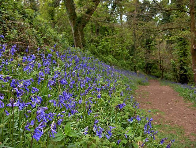 Bluebells in Pentewan Valley woods, Cornwall