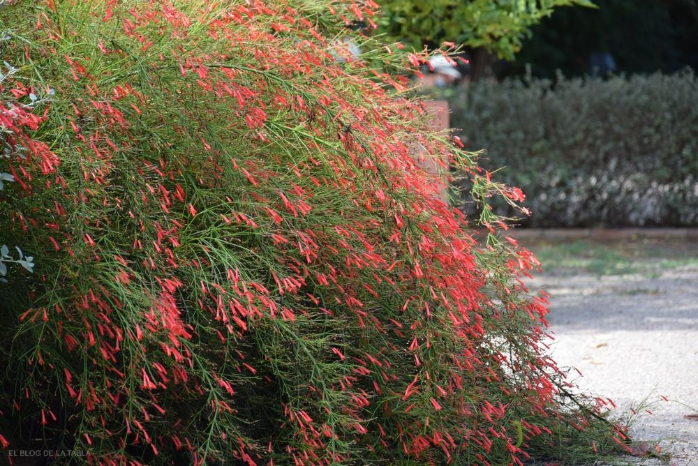 Arbusto herbáceo de porte colgante con abundantes flores tubulares de color rojo coral