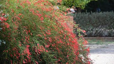 Russelia equisetiformis, lluvia de coral o lágrimas de amor