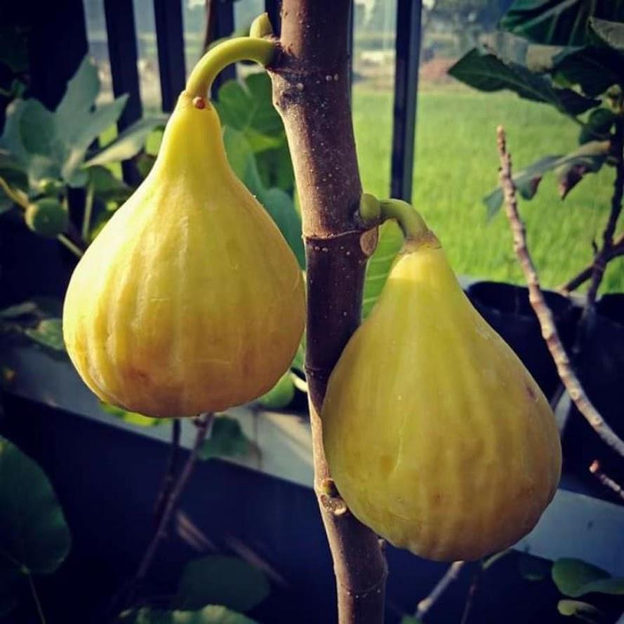 Bibit buah Tin buah Ara buah surga jenis unggul LDA fresh cangkok Tegal