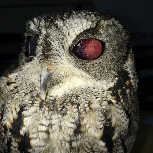 Blind owl and the starry universe in her eyes