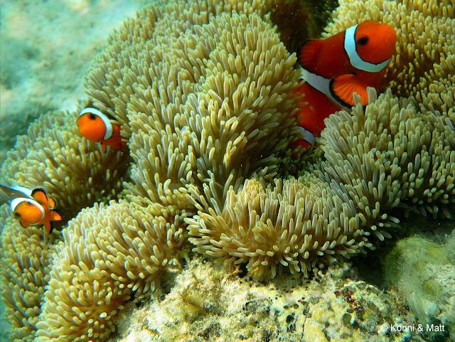 orange anemonefish, two-bar clownfish, tropical sea, scuba diving, tioman island, south china sea,