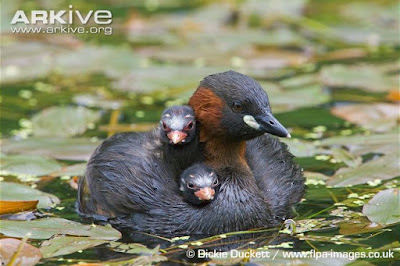 Little Grebe with chicks