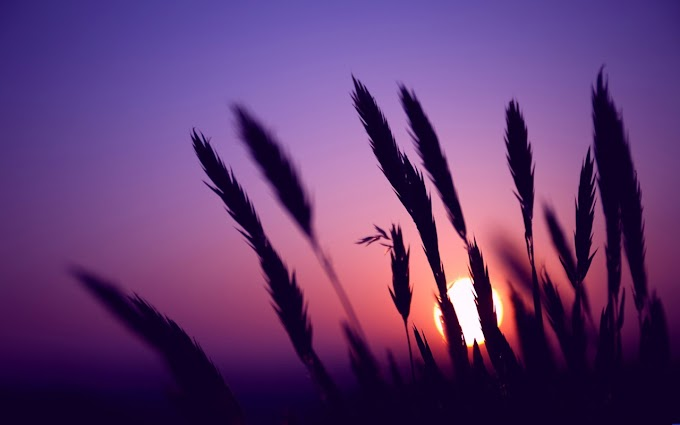 Dog Tail Grass image in Purple Sunset