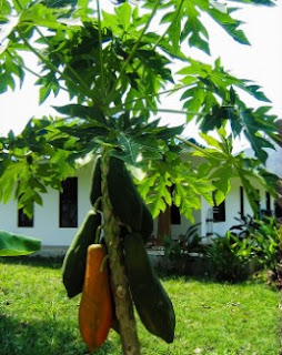gambar Manfaat Kesehatan Mengesankan dari buah Pepaya