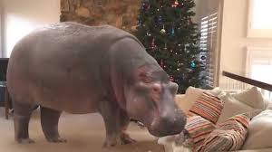 A Hippopotamus under the Christmas Tree