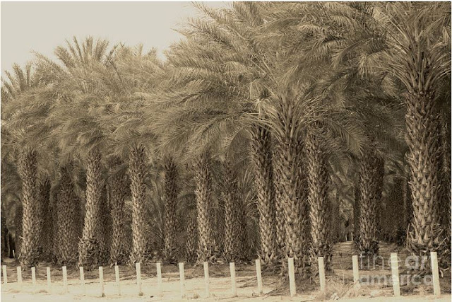Date Palms Near Mecca California In Sepia Tones