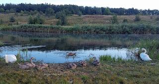 Лебеди-шипуны на реке Бык. Каменка, Добропольский р-н, Донецкая обл.