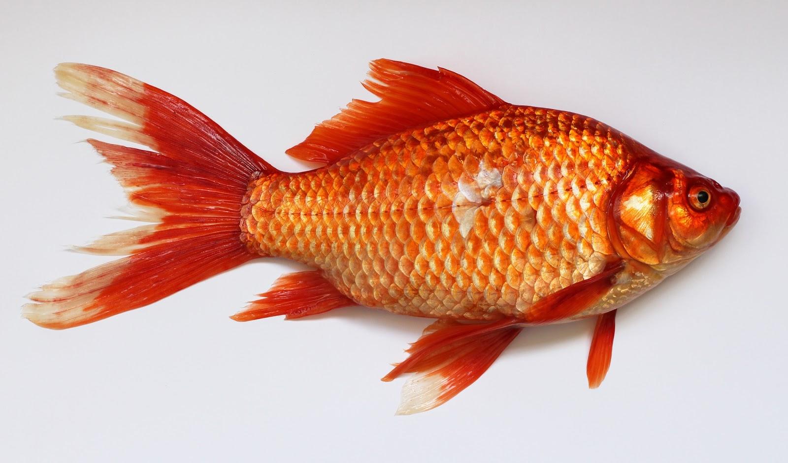 red-fish-selected-focus-properties
