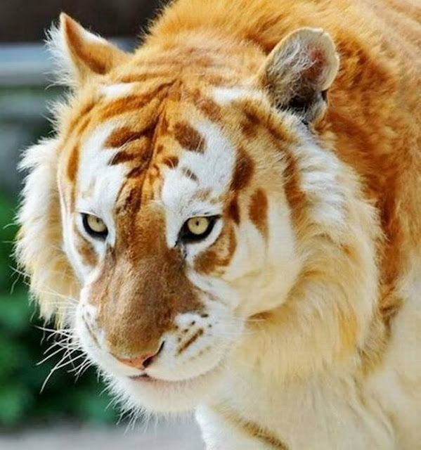 Rare Golden Tiger.