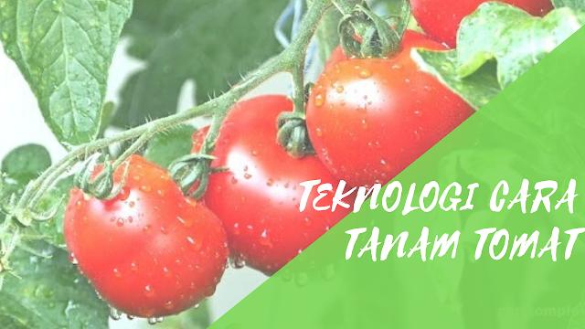 Teknologi Cara Tanam Tomat
