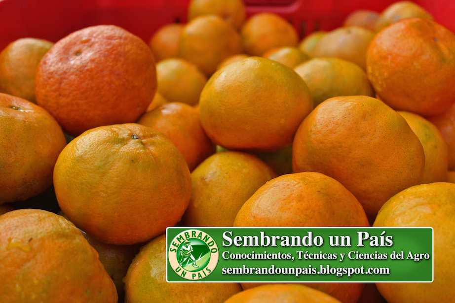 mandarinas maduras
