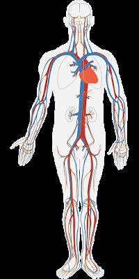 "Sistem Transportasi dan Proses Transportasi Dalam Tubuh Manusia Sistem Sirkulasi atau Transportasi Pada Tubuh Manusia Sistem transportasi disebut juga dengan sistem sirkulasi. Pada manusia sistem transportasi meliputi peredaran darah dan peredan getah bening (limfa). Sistem transportasi mengatur proses peredaran zat-zat metabolit penting keseluruh bagian tubuh.  Proses Sirkulasi atau Transportasi Dalam Tubuh Peredaran Darah Ada dua jalur sederhana dalam sistem peredaran darah yang di kenal dengan peredaran darah kecil dan peredaran darah besar. Peredaran Darah Kecil Urutan jalur peredarannya yakni dari bilik kanan (jantung)⟶ pembuluh nadi paru paru⟶ paru-paru⟶ pembuluh balik paru-paru⟶ serambi kiri (jantung)  Peredaran Darah Besar Urutan alirannya yakni dari bilik kiri (jantung)⟶ aorta⟶ pembuluh nadi⟶ pembuluh kapiler seluruh tubuh⟶ pembuluh kapiler⟶ pembuluh balik⟶ serambi kanan (jantung)  Peredaran Getah Bening Pada peredaran getah bening jalur peredarannya adalah sebagai berikut : Plasma darah di sela jaringan⟶ kapiller limfa⟶ sisi kanan dari kepala, leher, dada, dan tangan⟶ pembuluh limfa besar kanan⟶ vena subklavia kanan⟶ masuk ke dalam sirkulasi darah Plasma darah di sela jaringan⟶ kapiler limfa⟶ tubuh bagian bawah dan tubuh bagian atas sebelah kiri⟶ pembuluh limfa besar kiri⟶ vena subklavia kiri⟶ masuk ke dalam sirkulasi darah (echoust, 2015)   Nah itu dia bahasan dari sistem transportasi dan proses transportasi dalam tubuh manusia, melalui bahasan di atas bisa diketahui mengenai sistem sirkulasi dan proses sirkulasi tubuh manusia. Mungkin hanya itu yang bisa disampaikan di dalam artikel ini, mohon maaf bila terjadi kesalahan di dalam penulisan, dan terimakasih telah membaca artikel ini.""God Bless and Protect Us"""