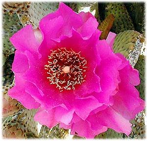 beavertail cactus bright pink bloom