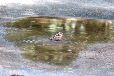 woodcock bathing in driveway, June 2015