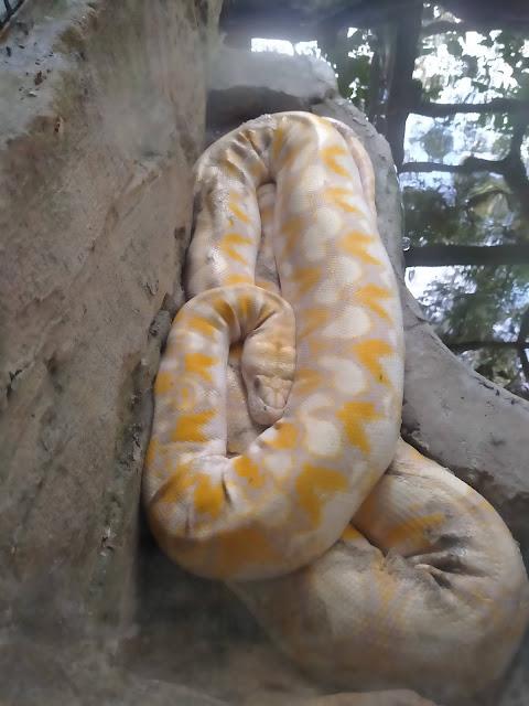 ular sawa putih kuning besar berlingkar