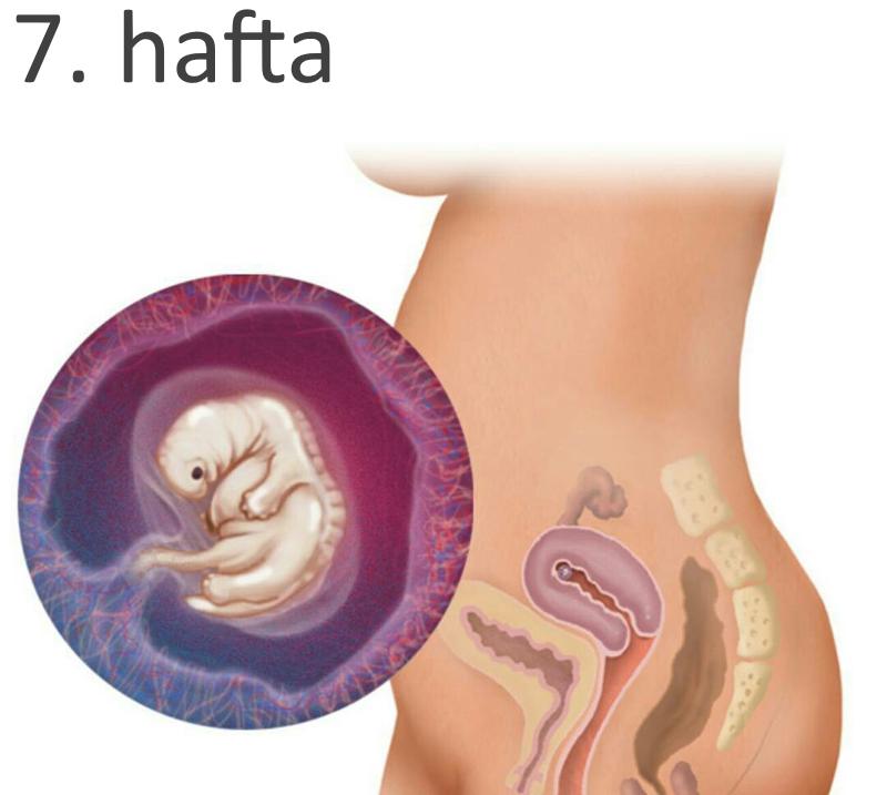 7 Haftalik Gebelik Hamilelik Görüntüsü