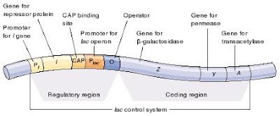lac operon, lac operon yang bertanggung jawab untuk regulasi ekpresi gen perombak laktosa