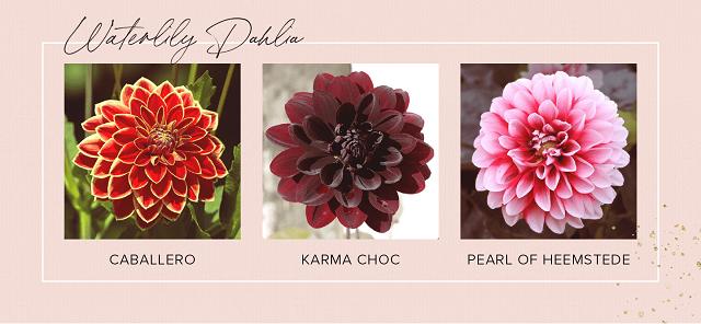 Gambar bunga dahlia waterlily