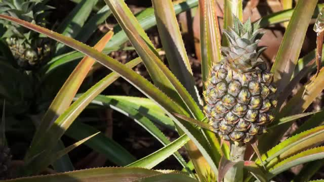 12 Most Expensive Fruits in the World, Pineapples From The Lost Gardens of Heligan