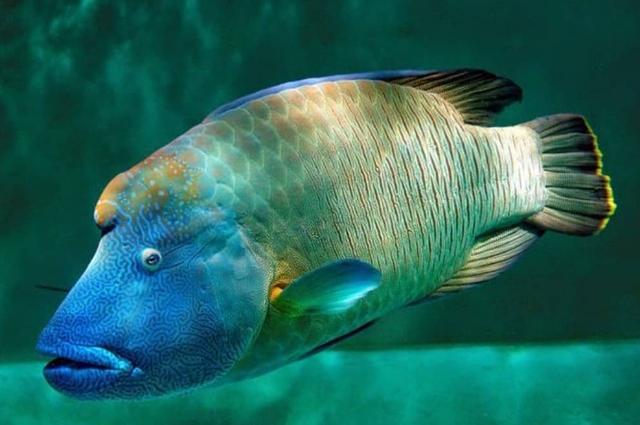 6 Fakta Unik Tentang Ikan Napoleon