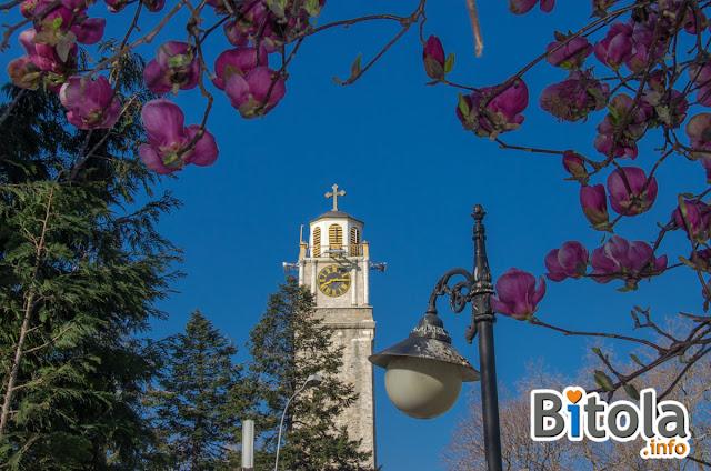 Magnolia tree near the Clock Tower in Bitola